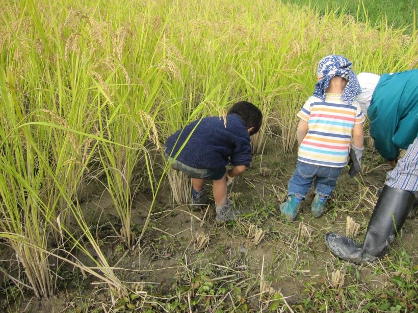 自然農法の稲刈り6