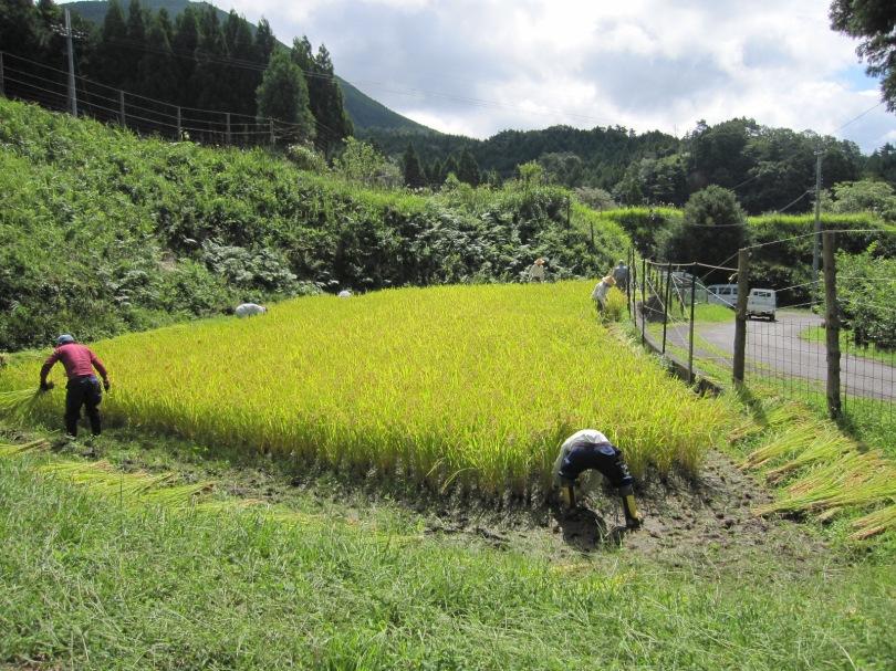 棚田稲刈り3