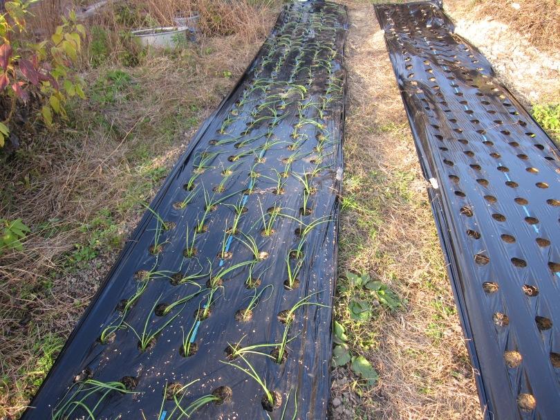 onionplanting18B